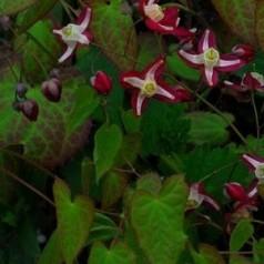 Epimedium rubrum / Bispehue