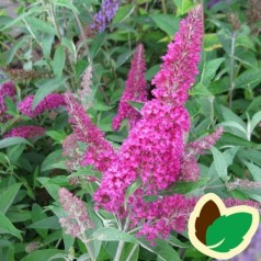 Buddleia davidii Summer Beauty / Sommerfuglebusk
