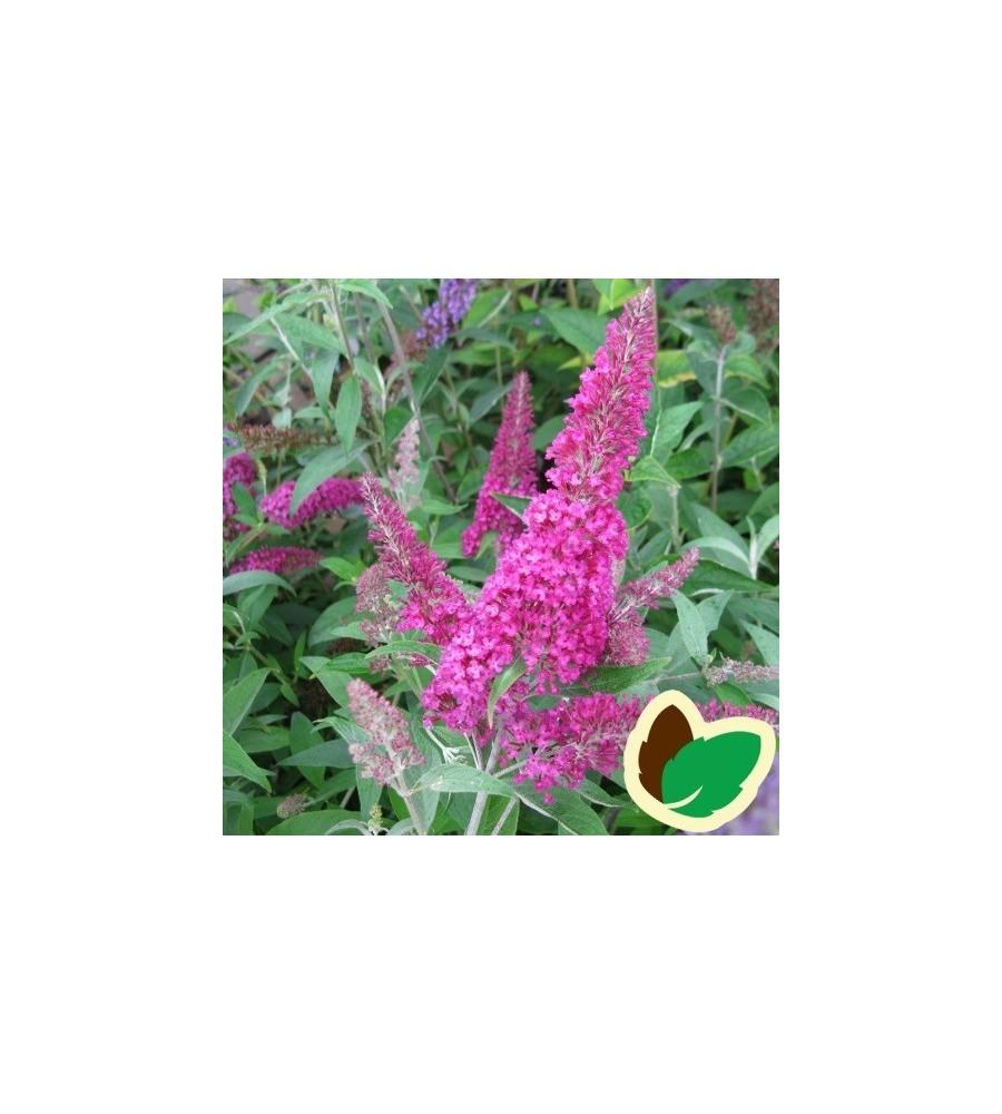 Buddleia davidii Summer Beauty / Sommerfuglebusk