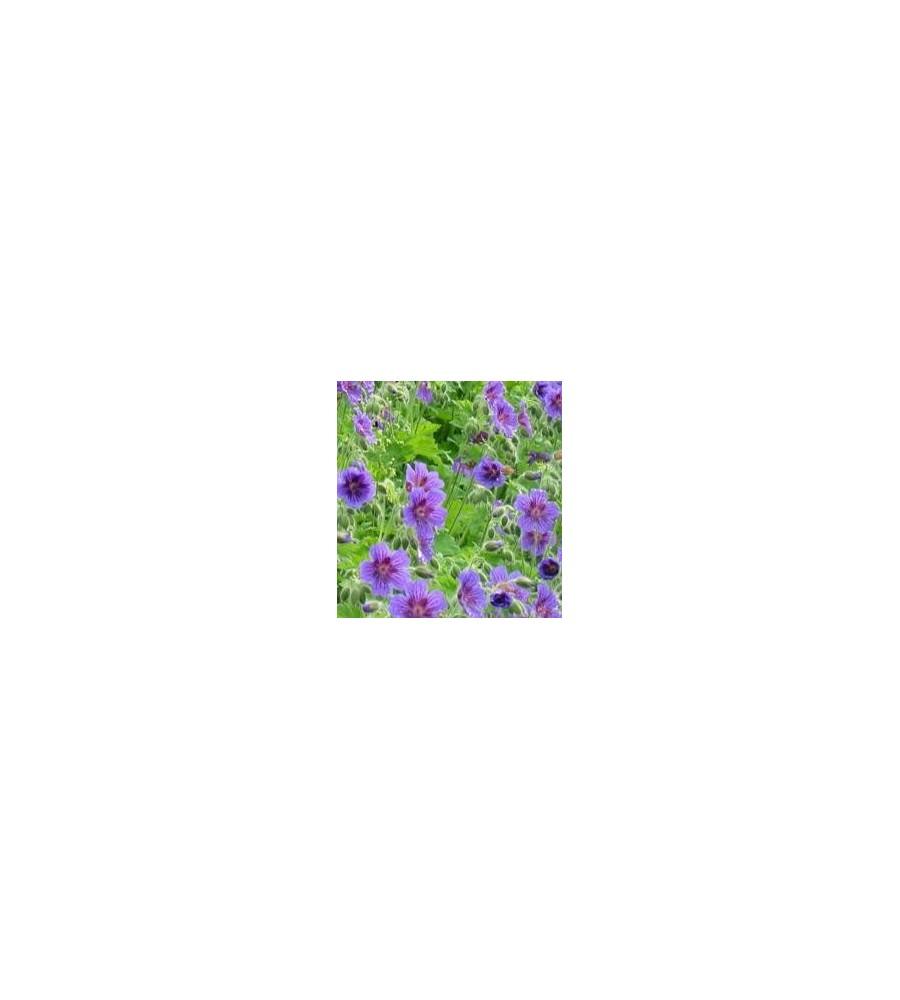 Geranium magnificum Rosemoor / Storkenæb