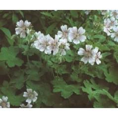 Geranium renardii / Storkenæb