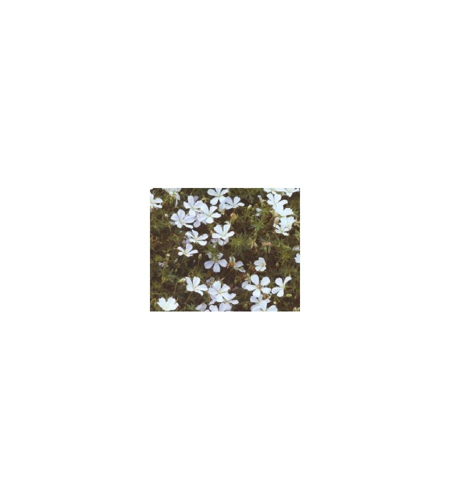Geranium sanguineum Album / Storkenæb