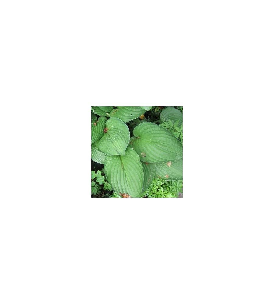 Hosta fortunei Hyacinthina / Funkia