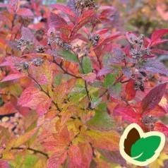 Spiraea japonica Manon - Spiræa