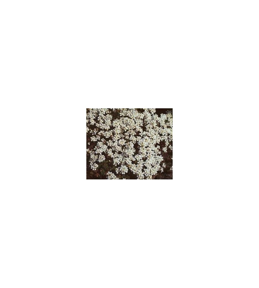 Hutchinsia alpina / Gemsekarse