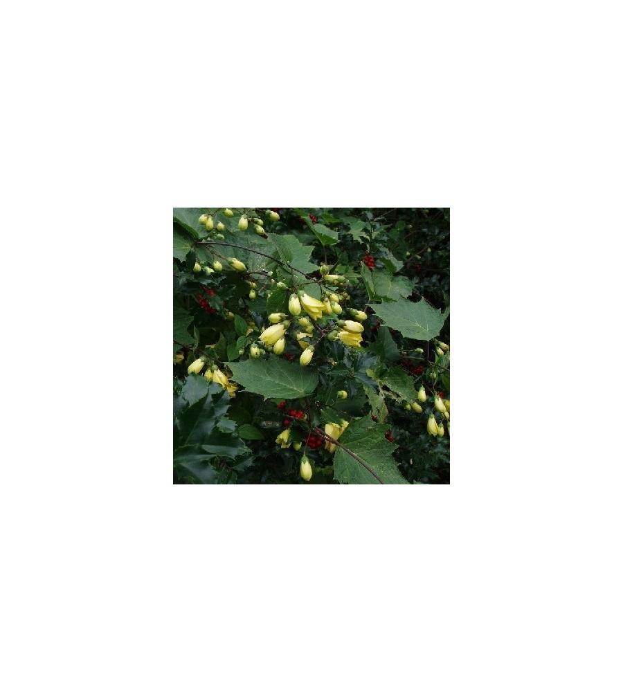 Kirengeshoma palmata / Månestråle