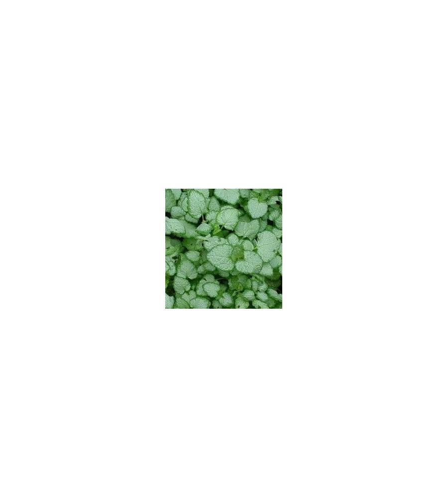 Lamium maculatum White Nancy / Plettet Tvetand