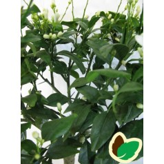 Citrontræ - Rosso