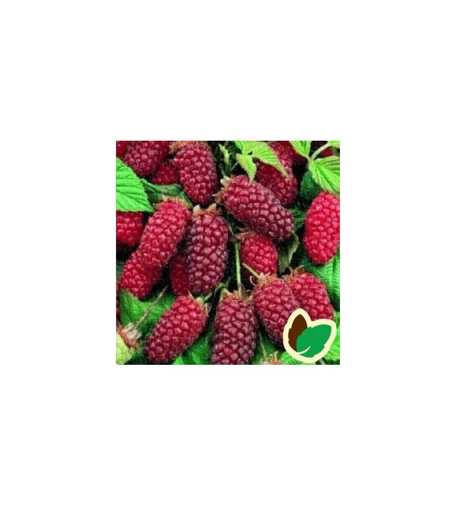Taybær - Rubus Tayberry