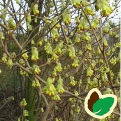 Corylopsis pauciflora / Hasselbror