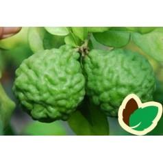 Kaffir Lime - Combawa - Citrus Hystrix