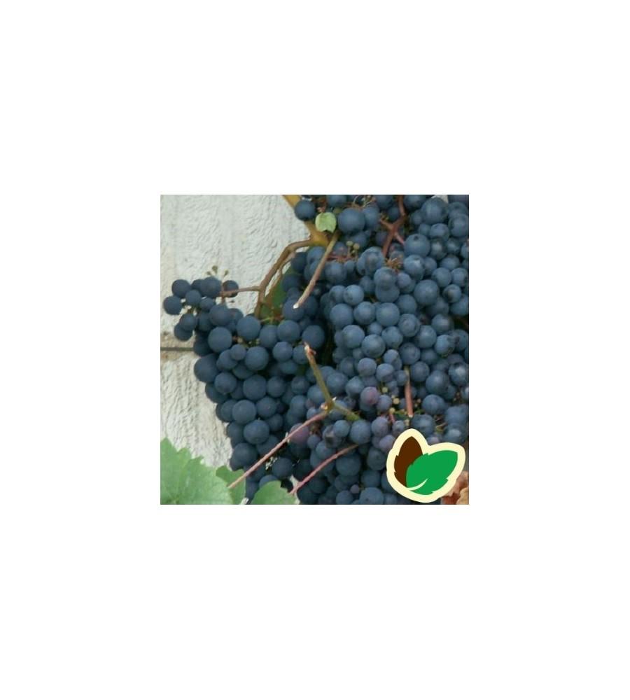 Vindrue Schuyler / Vitis