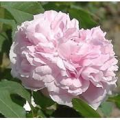 Historiske, Park & Sjældne Rose til blomsterhaven