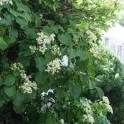 Klatrehortensia / Hydrangea - Kridtvejsplanter