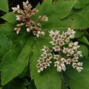 Aceriphyllum / Ahornblad