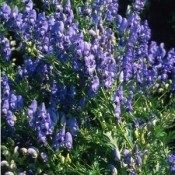 Aconitum / Stormhat - Stort udvalg - Kridtvejs Planter