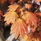 Acer / Ahorn-Løn-Navr