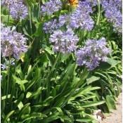Agapanthus / Skærmlilje - Stort udvalg - Kridtvejs Planter