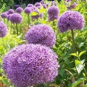 Allium / Prydløg