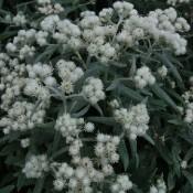 Anaphalis / Perlekurv - Stort udvalg - Kridtvejs Planter