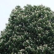 Hestekastanie (Aesculus) | Stort udvalg i træer og buske