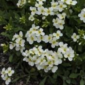 Kalkkarse (Arabis) - Stort udvalg - Kridtvejs Planter