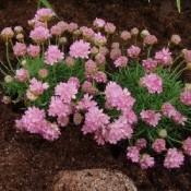 Armeria / Engelsk Græs - Stort udvalg - Kridtvejs Planter