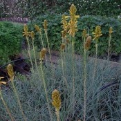 Kejserlys (Asphodeline) - Stort udvalg - Kridtvejs Planter