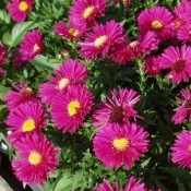 Aster / Asters