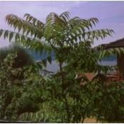 Ailanthus / Skyrækker