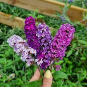 Sommefuglebusk - Stort udvalg af haveplanter