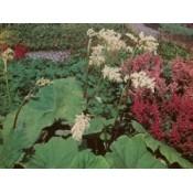 Parasolblad (Astilboides) - Stort udvalg - Kridtvejs Planter