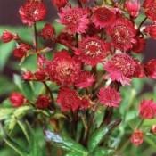 Stjerneskærm 'Astrantia' | Stort udvalg i stauder & buske