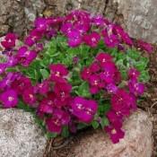 Blåpude (Auberita) - Stort udvalg - Kridtvejs Planter
