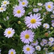 Skønasters 'Kalimeris' | Stort udvalg i stauder & buske til haven