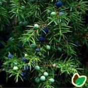 Enebær - Barrodsplanter
