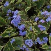 Kærmindesøster (Brunnera) - Stort udvalg - Kridtvejs Planter