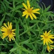 Tusindstråle (Buphthalmum) - Stort udvalg - Kridtvejs Planter