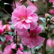 Camellia / Kamelia