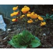 Calceolaria / Dværg Tøffel