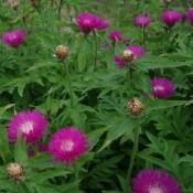 Centaurea / Kornblomst - Knopurt