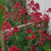 Centranthus / Sporebaldrian