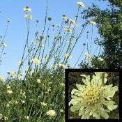 Cephalaria / Skælhoved - Stort udvalg - Kridtvejs Planter