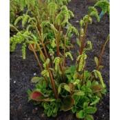 Chiastophyllum / Stenhøjsguldreg