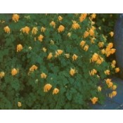 Corydalis / Lærkespore