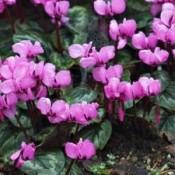 Alpevioler - Stort udvalg - Kridtvejs Planter