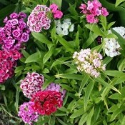 Nellike 'Dianthus', Flere Varianter - Stort Udvalg – Kridtvejs Planter
