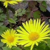 Gemserod - Stort udvalg - Kridtvejs Planter