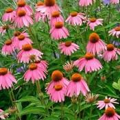 Echinacea / Solhat