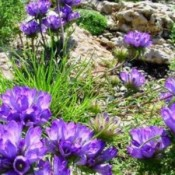 Bægerklokker - Stort udvalg - Kridtvejs Planter